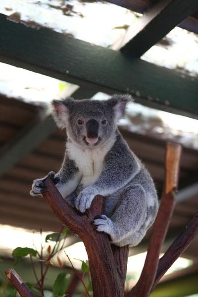 251_koala